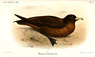 Black petrel - Illustration by Joseph Smit, 1896