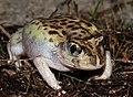 Mallee Spadefoot Toad (Neobatrachus pictus) (8744505824).jpg