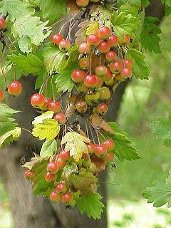 <i>Malus florentina</i> species of plant