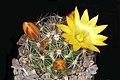 Mammillaria melaleuca pm 01.jpg
