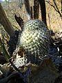 Mammillaria supertexta (5759000704).jpg