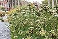 Many Allium tuberosum.jpg