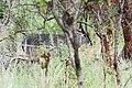 Manyara 2012 05 29 2109 (7482102192).jpg