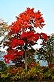 Maple - panoramio (3).jpg