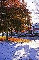 Maple in the snow, London N14 - geograph.org.uk - 1028856.jpg