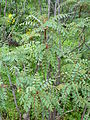 Marcetella moquiniana kz1.JPG