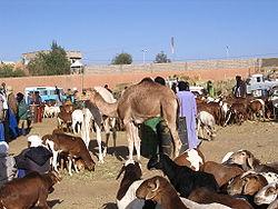 Livestock market of Tamanrasset
