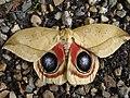 Mariposa con ojos Melgar Tolima Colombia - panoramio.jpg