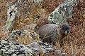 Marmota flaviventris (29897443215).jpg
