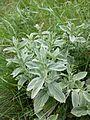 Marrubium peregrinum sl2.jpg