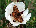 Marsh Fritillary. Eurodryas aurinia ( beckeri^) - Flickr - gailhampshire.jpg