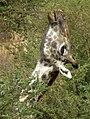 Masai Giraffe Giraffa camelopardalis tippelskirchi in Tanzania 0783 cropped Nevit.jpg