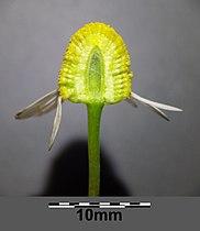 Matricaria chamomilla sl11.jpg