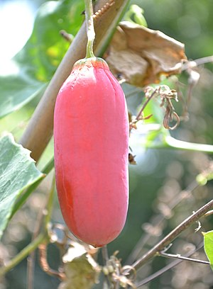 Coccinia grandis - Mature fruit of ivy gourd