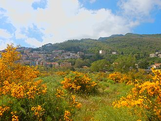Genisteae - brooms in spring at Fondachelli-Fantina, Sicily