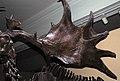 Megaloceros giganteus Irish elk skeleton (Pleistocene; peat bog near Dublin, eastern Ireland) 4 (15257223330).jpg