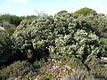 Melaleuca ordinifolia (habit).JPG