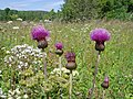 Melancholy Thistle (Cirsium heterophyllum) - geograph.org.uk - 1149975.jpg
