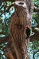 Melanerpes formicivorus-Male Feeding Nestling.jpg