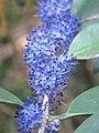 Memecylon umbellatum flowers at Peravoor (14).jpg