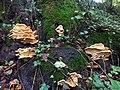 Meripilus giganteus 50818506.jpg
