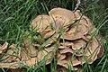 Meripilus giganteus 85696722.jpg