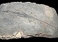 Mesosaurus.jpg