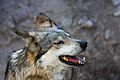 Mexican Wolf - Flickr - Joe Parks.jpg