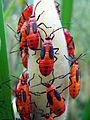 Milkweed Bug Nymphs - Flickr - treegrow.jpg