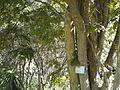 Millettia grandis, KwaZulu-Natal NBT, PMB.jpg