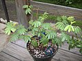 Mimosa-tenuiflora.jpg