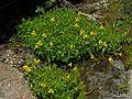 Mimulus tillingii - Flickr - pellaea (1).jpg