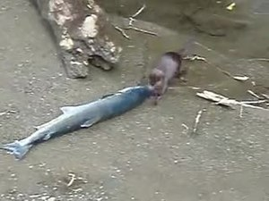 File:Mink in Alaska.webm