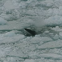 Minke whale in ross sea