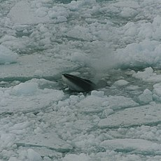 Minke whale in ross sea.jpg