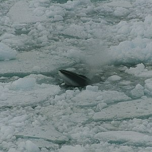Minke whale - Image: Minke whale in ross sea