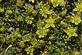 Minuartia sedoides - panoramio.jpg