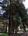 Molina, Sequoia sempervirens (37006650072).jpg