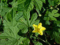 Momordica charantia (Bitter melon) leaves and a flower.jpg