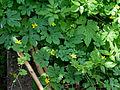 Momordica charantia bitter melon bitter gourd vine 2010-07-14 186 01.jpg