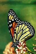 Monarchvlinder-01.jpg