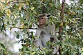 Monkey in a tree (7591320622).jpg