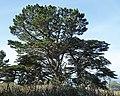 Monterey Pine & Cypress trees, Point Lobos State Natural Preserve 1 18 19 (46082314034).jpg
