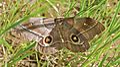 Mopane Moth (Imbrasia belina) (6032325225).jpg