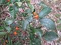 Morinda jasminoides 2.jpg