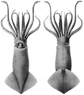 Oegopsida suborder of squids