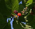 Morus nigra fruit.jpg