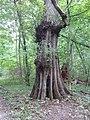 Morysin - ciekawe drzewo, chociaż nie oznakowane jako pomnik przyrody.jpg