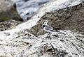Motacilla alba - White Wagtail 02-1.jpg