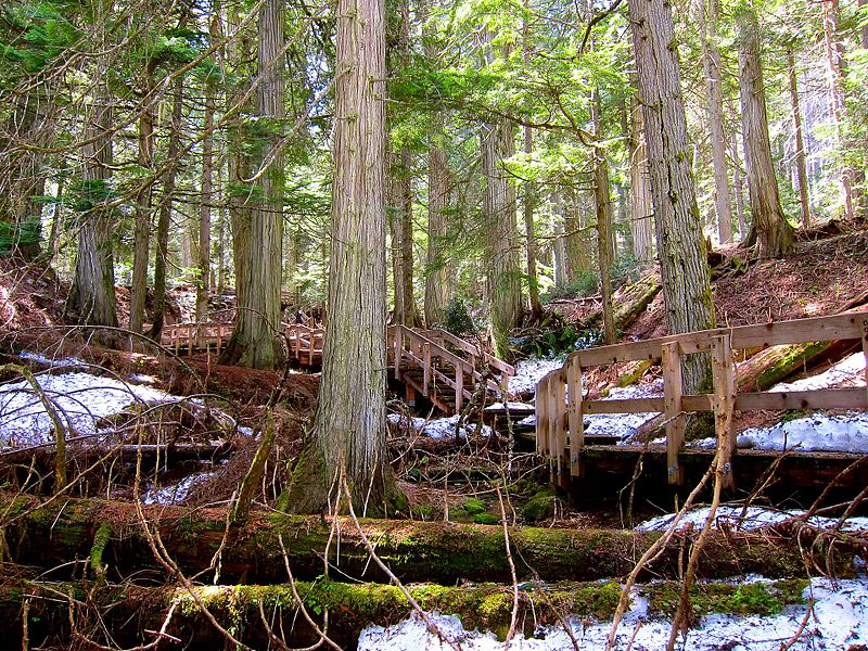 giant cedar trees and a forest boardwalk in Mount Revelstoke National Park, British Columbia